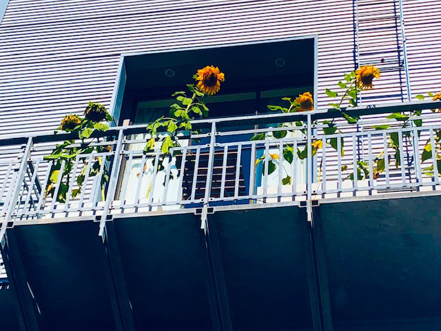SF.Sunflowers
