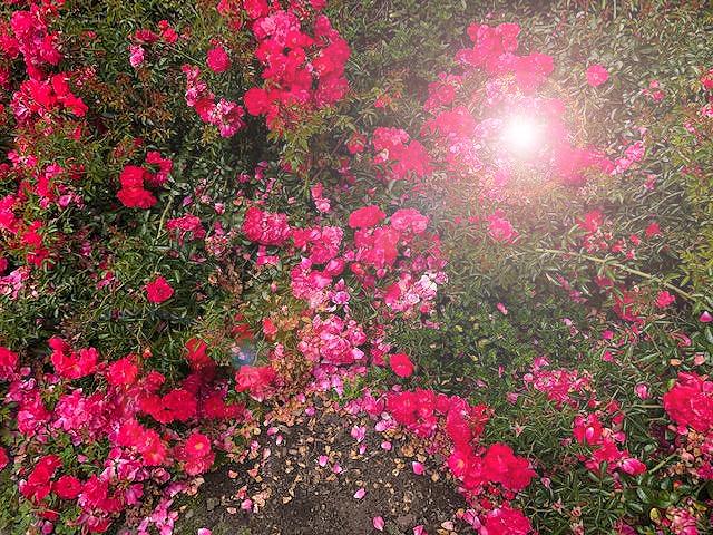 Red.Petals