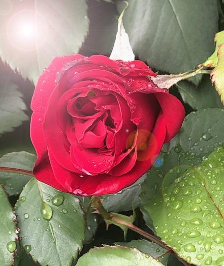 Viral.Rose